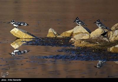 فارس کے مہمان پرندے