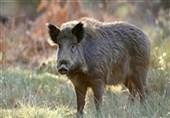 گیلان| عامل کشتار 18 رأس گراز وحشی به 3 سال حبس محکوم شد