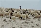 واردات هفتگی 50 هزار راس گوسفند زنده/ عرضه فراوان گوشت 40 هزار تومانی بدون صف