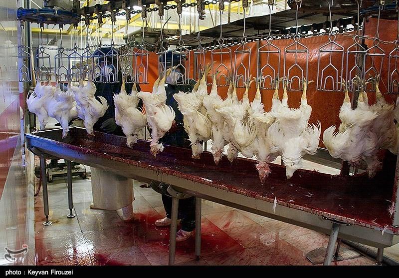 17 میلیون مرغ مبتلا به آنفولانزا شناسایی ومعدومسازی شد