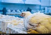 تلاش برای کنترل آنفلوآنزای فوق حاد پرندگان دراصفهان