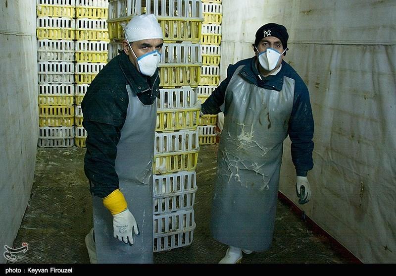 استانهای قم و اصفهان درگیر آنفولانزای فوق حاد پرندگان هستند