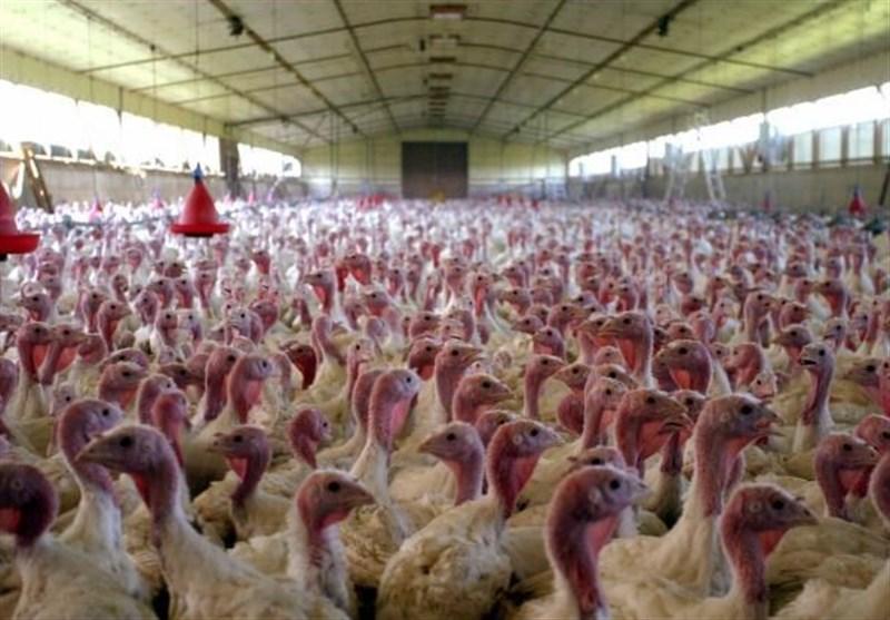 مجوز جوجهریزی برای بیش از 40 هزار قطعه بوقلمون در خراسانجنوبی صادر شد