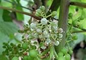 سفیدک انگور