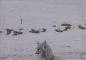 عکس/یخزدن روباه و تبدیل آن به یک مجسمه در سرمای چالدران