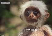 واکنش شگفتآور میمونها به مرگ ربات میموننما+فیلم و عکس