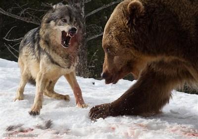 مبارزه خرس با گرگها