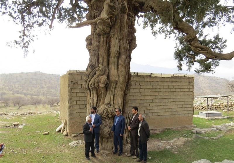 اثر گردشگری درخت سرو لار باشت ساماندهی میشود