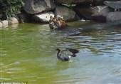 فیلم/شجاعترین اردک جهان ببر را دست میاندازد