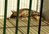 گونههای بومی حیات وحش کشور، در قفس باغ وحشی غیرمجاز + فیلم