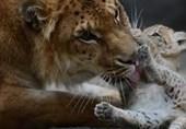 فیلم/توله «شبر» نادر در باغوحش روسیه