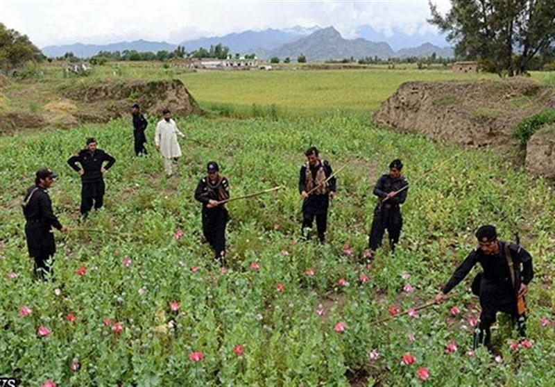 افغانستان؛ منشیات کی کاشت میں اضافہ جبکہ سیکورٹی اہلکاروں کی تعداد میں کمی
