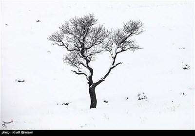درختان تکیده در دامنه کوه میشو