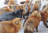 در این دهکده روباهها حکمرانی میکنند+فیلم و عکس