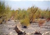 زلزله خاموش در دل تاغزارهای خراسان جنوبی/حمله شپشک سفید به تاغزارها