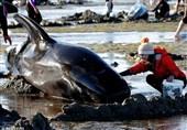 خودکشی دستهجمعی بیش از 400 نهنگ+فیلم و عکس
