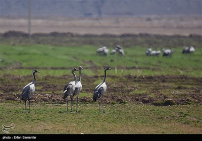 Wetlands South of Iran, A Stopover for Migrating Cranes