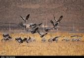 بیش از سه هزار درنای خاکستری در تالاب میقان اراک فرود آمدند