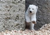 وقتی قدم زدن یک توله خرس سوژه رسانهها میشود+عکس