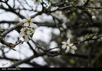 شکوفه های زمستانی در کلاچای گیلان