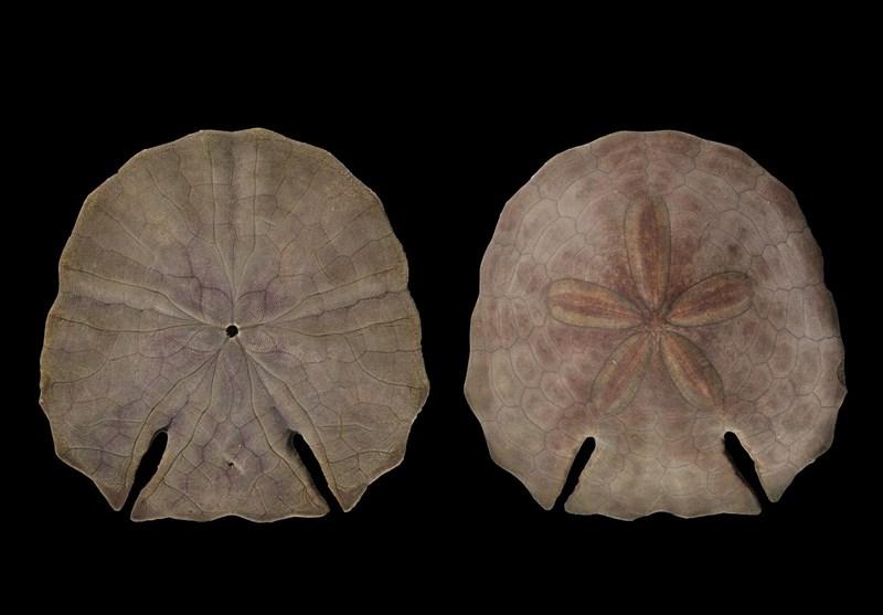 کشف و ثبت جهانی گونهای جدید از خارپوستان در دریای عمان