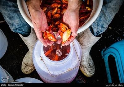 فروش ماهی قرمز