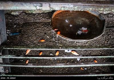 هر ساله بخش زیادی از این ماهیهای تزئینی قبل از رسیدن به سفره های هفت سین میمیرند
