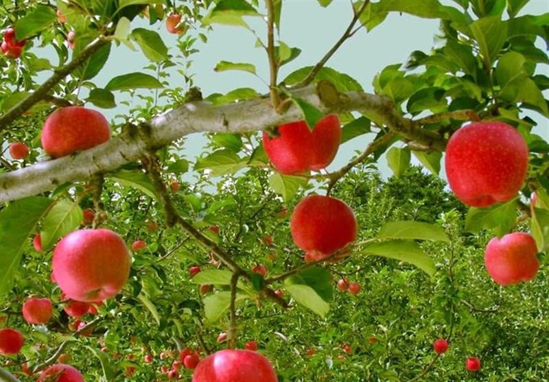 نتیجه تصویری برای سیب