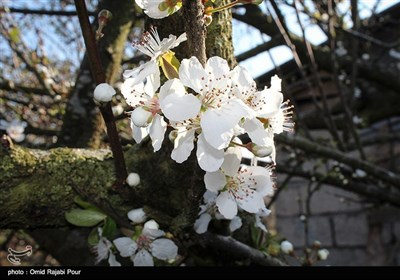 Trees Blossom in Northern Iran