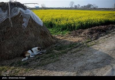 مزارع کلزا - مازندران