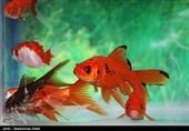 بهار 98  سرنوشت میهمانان آبزی سفره هفتسین؛ بهتر است ماهی قرمز نخریم
