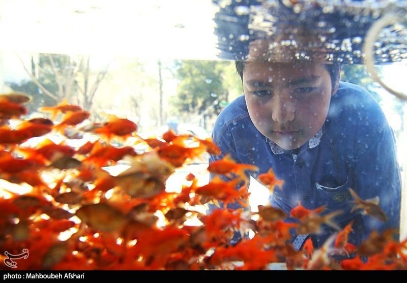 مشهد| 2.5 میلیون قطعه ماهی قرمز بازار شب عید خراسانرضوی را تامین میکند