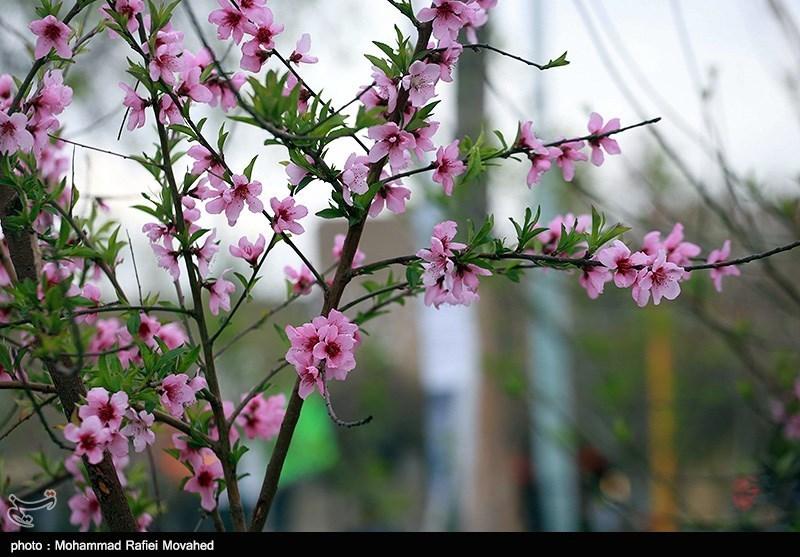 """""""پلپلاسی و پنجکه"""" در سیستان نوید روزهای با طراوت و شاد نوروز را میدهند+ فیلم و تصاویر"""