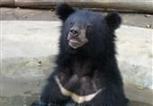 """گونه نادر """"خرس سیاه بلوچی"""" در باغ وحش دانشگاه زابل تلف شد"""