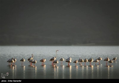 Migrating Flamingos in Wetlands of Iran's Southern Province of Fars