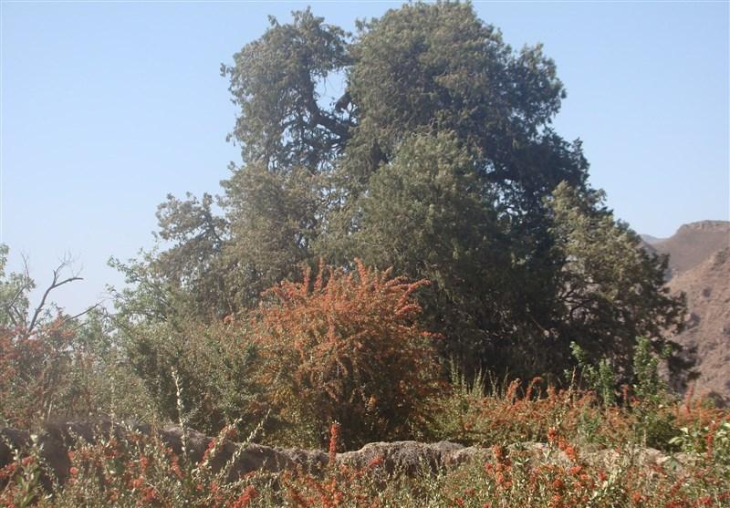 درخت سرو کهنسال اسکیونگ سربیشه در فهرست میراث طبیعی- ملی ثبت شد