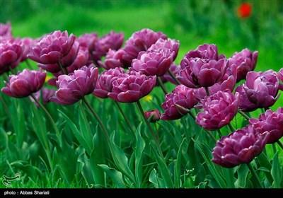 مهرجان سنوی لزهور التولیب فی مدینة کرج غرب طهران
