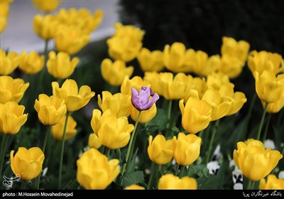 Tehran Parks Festooned with Tulips in Spring