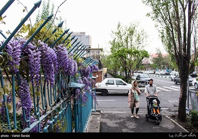 گلهای اقاقیا در کوچه پس کوچه های تهران