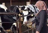 تولید ١٢٦ کیلو شیر به ازای هر ایرانی در سال 96