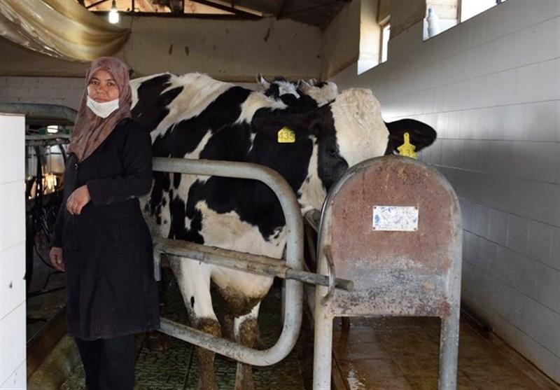شاخص قیمت تولیدکنندگان محصولات گاوی اعلام شد