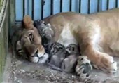تولد سه توله شیر آفریقایی در باغ وحش بابلسر + فیلم