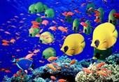 «کشاورزی»، ناجی اقتصاد| ایجاد 3500 شغل جدید با تکثیر ماهی زینتی/ صادرات ماهیان زینتی به اروپا