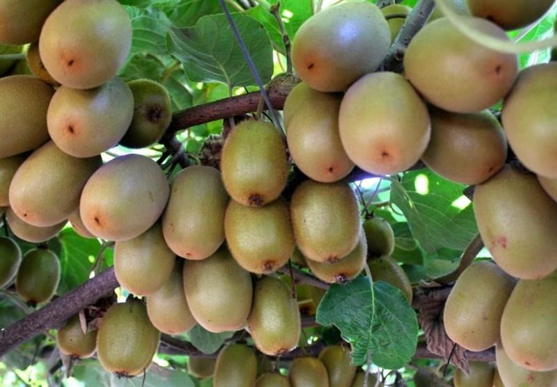 صادرات کیوی تا آبان ممنوع شد + سند