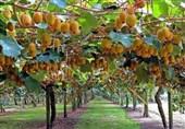 دولت مشوقهای صادراتی به تولیدکنندگان کیوی پرداخت کند