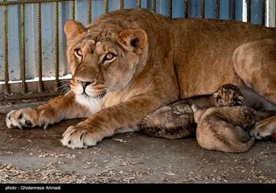 تولد سه توله شیر آفریقایی در باغ وحش بابلسر