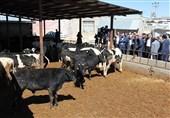 معاون دامپزشکی کشور: 100 هزار راس گاو از برزیل وارد سیستان و بلوچستان میشود