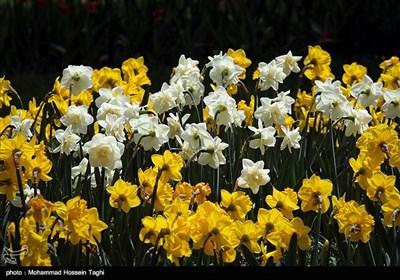 جشنواره گل های داوودی بوستان ملت - مشهد