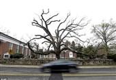 پیرترین درخت آمریکا به تبر سپرده شد + فیلم عکس