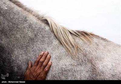مهرجان الخیول الاصیلة فی ترکمن - محافظة کلستان